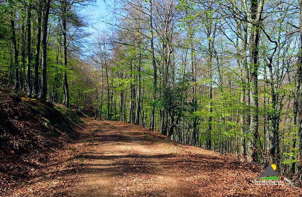 La ruta discurre en su práctica totalidad por el interior de un bosque de hayas.