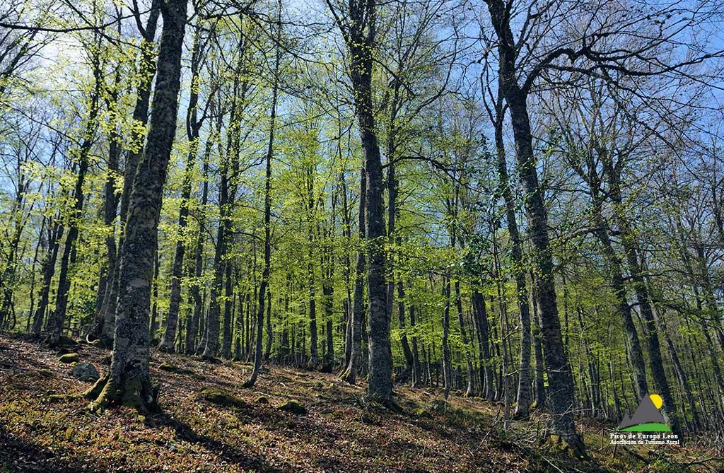 El hayedo en primavera, en la ruta de Panderruedas a Posada de Valdeón.